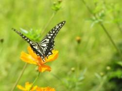 ハゲハ蝶2